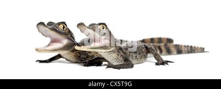 Brillentragende Kaimane, Caiman Crocodilus, auch bekannt als die weiße Kaiman oder gemeinsame Caiman, 2 Monate alt, - Stockfoto