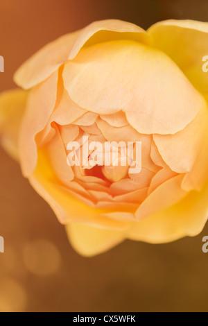 Jude die obskuren Rose in voller Blüte auf einem goldenen Hintergrund - Stockfoto
