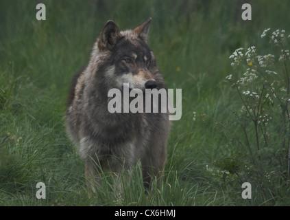 Nordwestlichen Wolf stehend Gras - Stockfoto