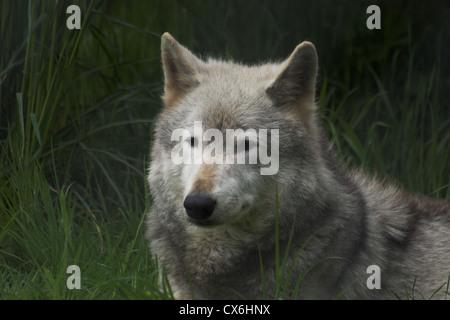 Nordwestlichen Wolf - Stockfoto