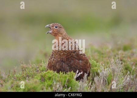 Moorschneehuhn (Lagopus lagopus scoticus) Jugend männlich, Aufruf, mit Heidekraut, Yorkshire, England, Großbritannien - Stockfoto