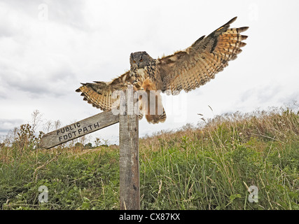 Europäische Adler-Eule Bubo Bubo Landung - Stockfoto