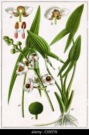 Sagittaria sagittifolia - Stockfoto