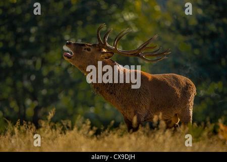 Rotwild-Hirsch brüllen schlecht während der Brunftzeit Saison Herbst wo Männer konkurrieren um die Gunst der Weibchen - Stockfoto