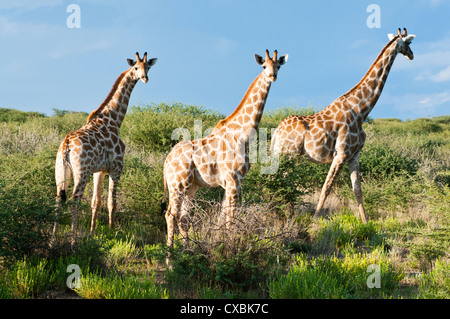 Giraffe (Giraffa Plancius), Namibia, Afrika Stockfoto