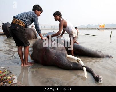 Junge Männer, Mahouts, waschen tusked Elefanten in den heiligen Fluss Ganges in der Vorbereitung für Sonepur Vieh - Stockfoto