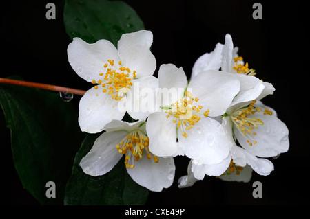 Philadelphus Hirsutus weiße Blume Blumen Blüte sommergrüne Sträucher ...