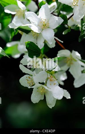 Philadelphus Mont Blanc weiße Blume Blumen Blüte sommergrüne ...