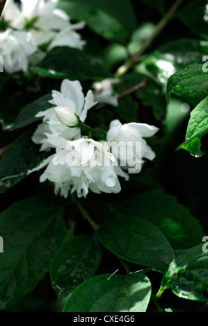 Philadelphus X virginalis Zauber weiße Blume Blumen Blüte ...