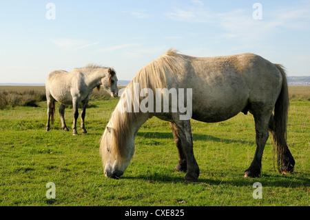 Zwei Welsh Mountain Ponys (Equus Caballus) Weiden, Llanrhidian Salzwiesen, The Gower Halbinsel Wales - Stockfoto