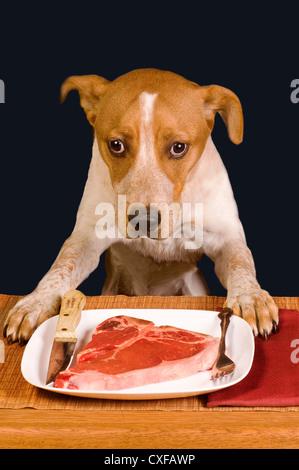 Der Hund ist wirklich bereit, große saftige Steak Essen. - Stockfoto