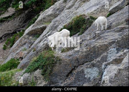 Eine Mutter Bergziege mit ihrem neuen Baby. - Stockfoto
