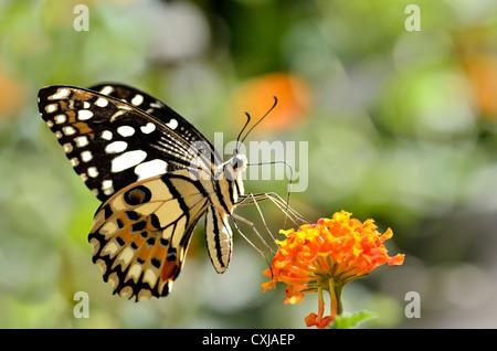 Kalk-Schmetterling (Papilio Demoleus) ernähren sich von Blume (Lantana Camara) - Stockfoto