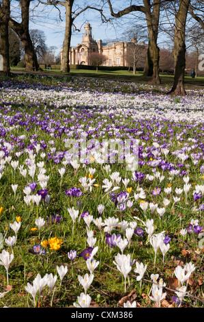 Teppich aus schönen bunten Frühlingskrusten auf Rasen von Cartwright Hall Art Gallery (historisches Gebäude) - Sunny - Stockfoto