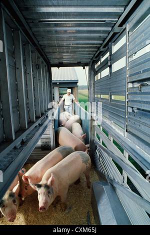 Laden markt Gewicht Schweine - Stockfoto