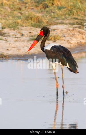 Sattel – abgerechnet Stork (Nahrung Senegalensis) auf der Suche nach Fisch im Okavangodelta, Botswana - Stockfoto