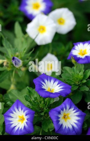 bunte leuchtende Farben Morning Glory Ackerwinde Farbe blau gelb ...