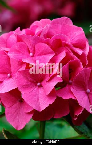Hydrangea Macrophylla Masja pink rote Blumen Blüte Blüte sommergrüne Sträucher Strauch Busch Blütenköpfchen Blütenstand - Stockfoto