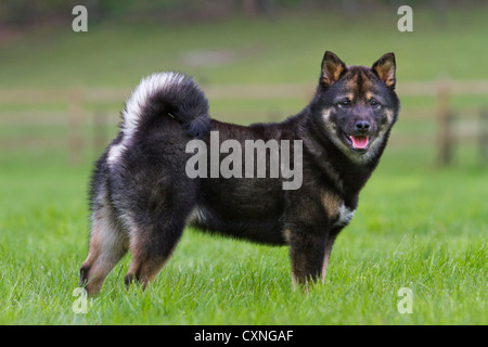 Shiba Inu / Shiba Ken (Canis Lupus Familiaris) Japanisch Hund Rasse im Garten - Stockfoto