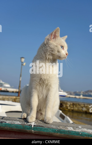 Weiße Katze auf Fischerboot im Hafen von Chora, Mykonos, Cyclades, Süd Ägäis, Griechenland - Stockfoto