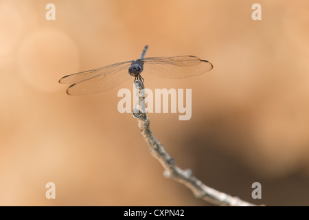 Libelle auf Zweig, Big Bend Nationalpark, Texas. - Stockfoto