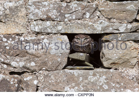 Steinkauz (Athene Noctua) in Gefangenschaft, UK - Stockfoto