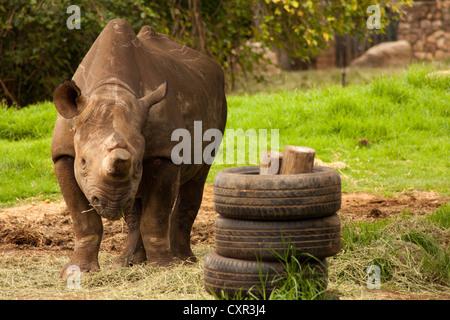 Ein Spitzmaulnashorn (Diceros Bicornis) in Johannesburg Zoo mit Reifen Spielzeug im Vordergrund und grünen Rasen - Stockfoto