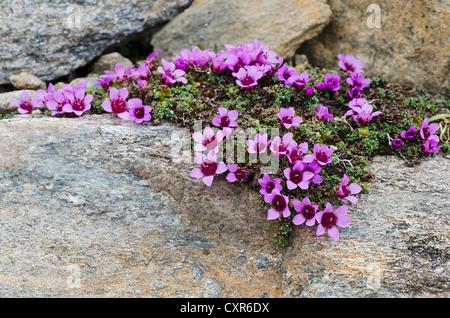Steinbrech (Saxifraga Oppositifolia Subspecies Oppositifolia), lila Gamsgrube, Nationalpark Hohe Tauern, Carinthia - Stockfoto