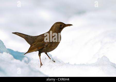 Amsel (Turdus Merula), Weiblich, im Schnee, Terfener Forchat, Terfens, Tirol, Österreich, Europa - Stockfoto