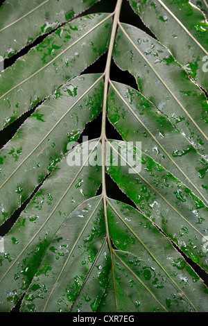 Blatt mit Tautropfen, Giant Vine Fern oder Sagopalme (Stenochlaena Tenuifolia), Südafrika - Stockfoto