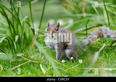 Grau oder grau-Eichhörnchen (Sciurus Carolinensis), in der Wiese, St James Park, London, Südengland, England, Vereinigtes - Stockfoto