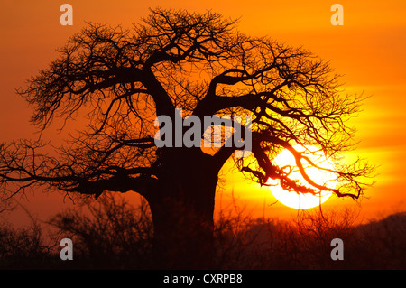 afrikanische affenbrotbaum adansonia digitata bei sonnenuntergang silhouette tarangire. Black Bedroom Furniture Sets. Home Design Ideas