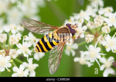 Europäische Arten von Hoverfly (Syrphus Ribesii) thront auf einer Pflanze des Ordens Umbelliflorae, Bayern, Deutschland, - Stockfoto