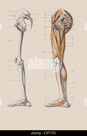 Skelett der Beine mit der Muskelstruktur, anatomische Abbildung ...