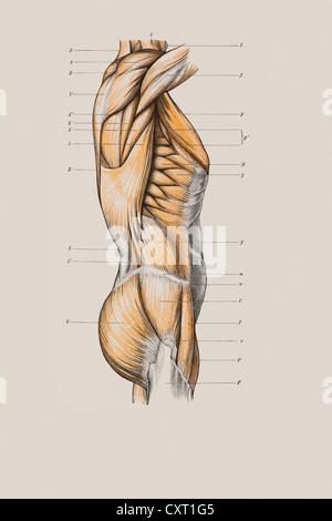 Muskelstruktur des Torsos, anatomische Abbildung Stockfoto, Bild ...