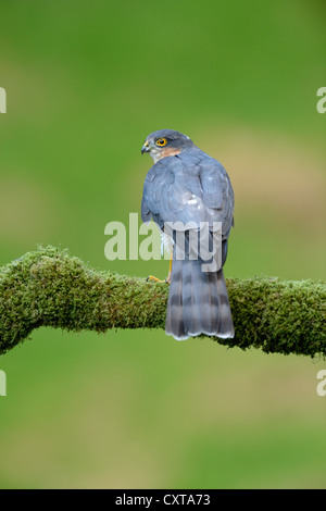 Sperber (Accipiter Nisus) - Stockfoto