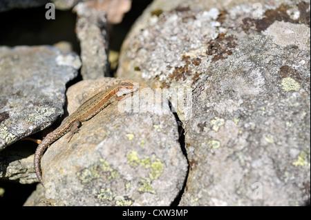 Gemeinen Eidechse (Lacerta Vivipara), auch bekannt als die vivipare Eidechse