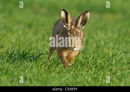 Europäische Hase oder Feldhase (Lepus europaeus), Oberösterreich, Österreich, Europa - Stockfoto