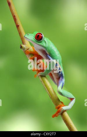 Einen Zweig Klettern rotäugigen Baumfrosch (Agalychnis Callidryas) - Stockfoto