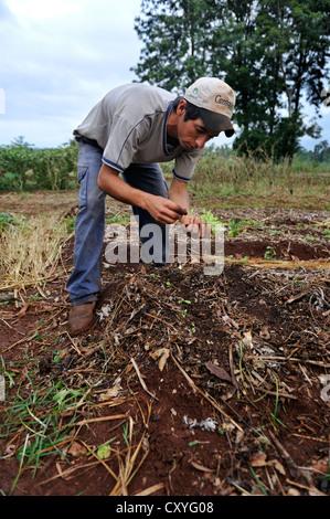 Ökologischen Landbaus, junger Mann, die Pflanzen von Kopfsalat, Landwirtschaftsschule CECTEC, Itapua, Paraguay, - Stockfoto