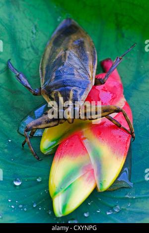 Riesige Wasser-Bug (Lethocerus Indicus) auf einem Lotusblatt - Stockfoto
