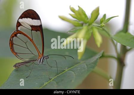 Glasswinged Schmetterling (Greta Oto), Insel Mainau, Baden-Württemberg - Stockfoto