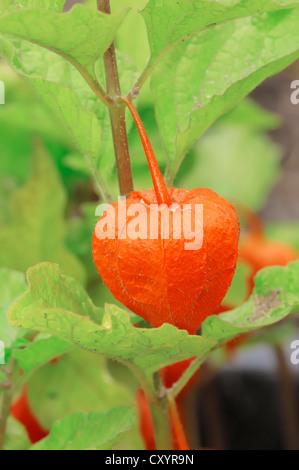 Chinesische Laterne (Physalis Franchetii, Physalis Alkekengi) - Stockfoto