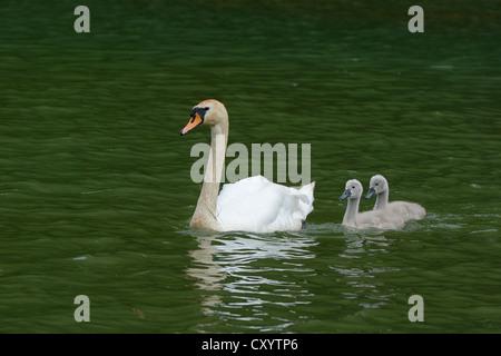 Mute Swan (Cygnus Olor) schwimmen mit zwei Cygnets auf Wichelsee See, Sarnen, Schweiz, Europa - Stockfoto