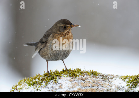 Amsel (Turdus Merula), Weiblich, Bulgarien, Europa - Stockfoto