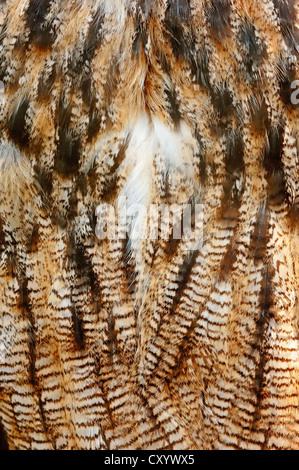 Eurasische Adler-Eule (Bubo Bubo), Detailansicht des Gefieders, Gefangenschaft, North Rhine-Westphalia - Stockfoto