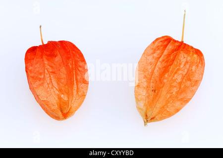 Blase Kirsch- oder chinesische Laterne (Physalis Franchetii, Physalis Alkekengi), Früchte - Stockfoto