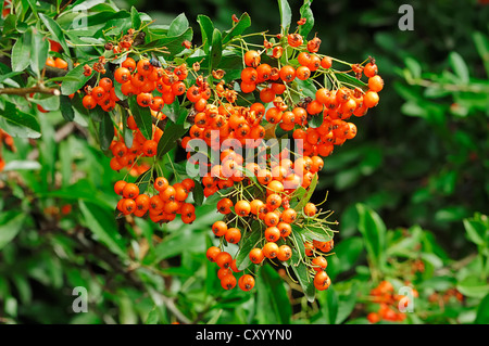 Feuerdorn (Pyracantha SP.), Beeren auf den Busch, Zierbäume und Sträucher - Stockfoto