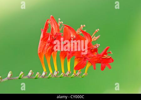 Montbretia oder Coppertips (Crocosmia), Blüte, afrikanischen Arten, Gartenpflanze - Stockfoto