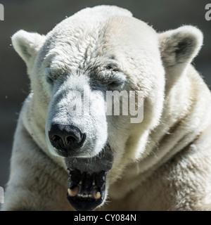 Müde, Gähnen, Eisbär (Ursus Maritimus), München, Bayern - Stockfoto